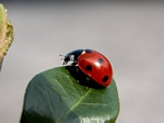 Syvplettet Mariehne (Coccinella septempunctata)